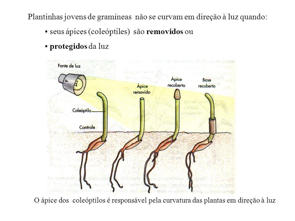 Plantinhas jovens de gramíneas não se curvam em direção à luz quando: seus ápices (coleóptiles) são removidos ou protegidos da luz O ápice dos coleópt