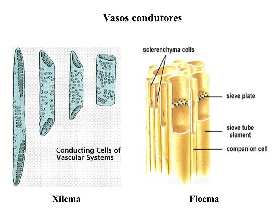 adalberto Apresentam 2 tipos de tecido condutor : · Xilema (conduz água e sais minerais) seiva bruta · Floema (conduz água e glicose) seiva elaborada Floema Fora Xilema Dentro