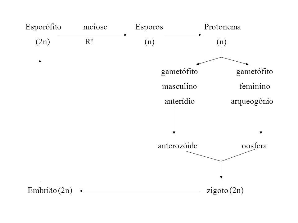 Esporófito meiose EsporosProtonema (2n)R!(n) (n) gametófito gametófito masculino feminino anterídio arqueogônio anterozóide oosfera Embrião (2n) zigot