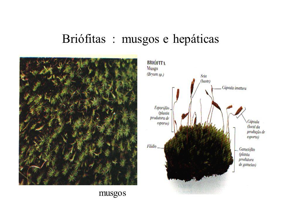 Briófitas : musgos e hepáticas musgos