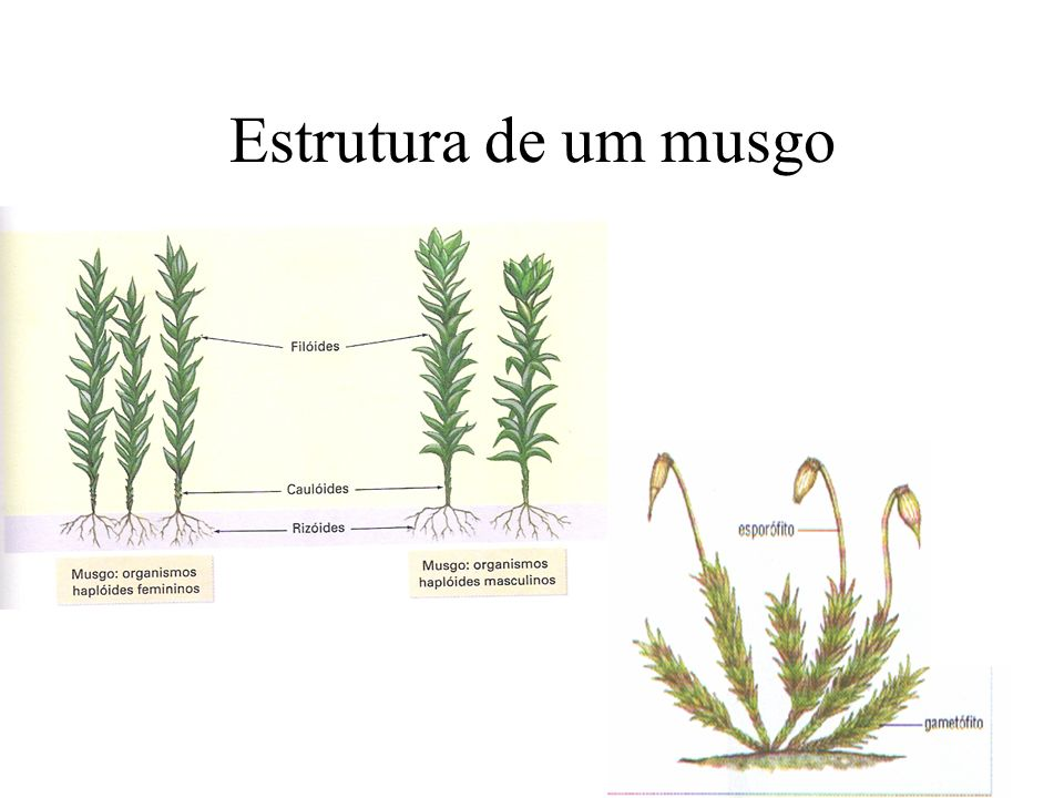 Estrutura de um musgo