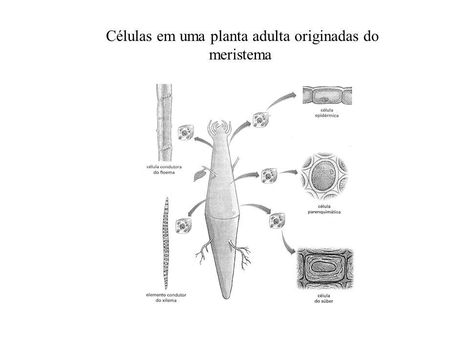 Células em uma planta adulta originadas do meristema