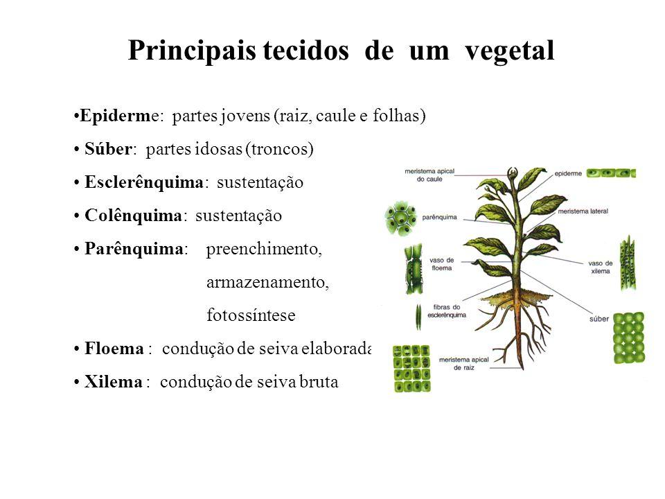 Principais tecidos de um vegetal Epiderme: partes jovens (raiz, caule e folhas) Súber: partes idosas (troncos) Esclerênquima: sustentação Colênquima:
