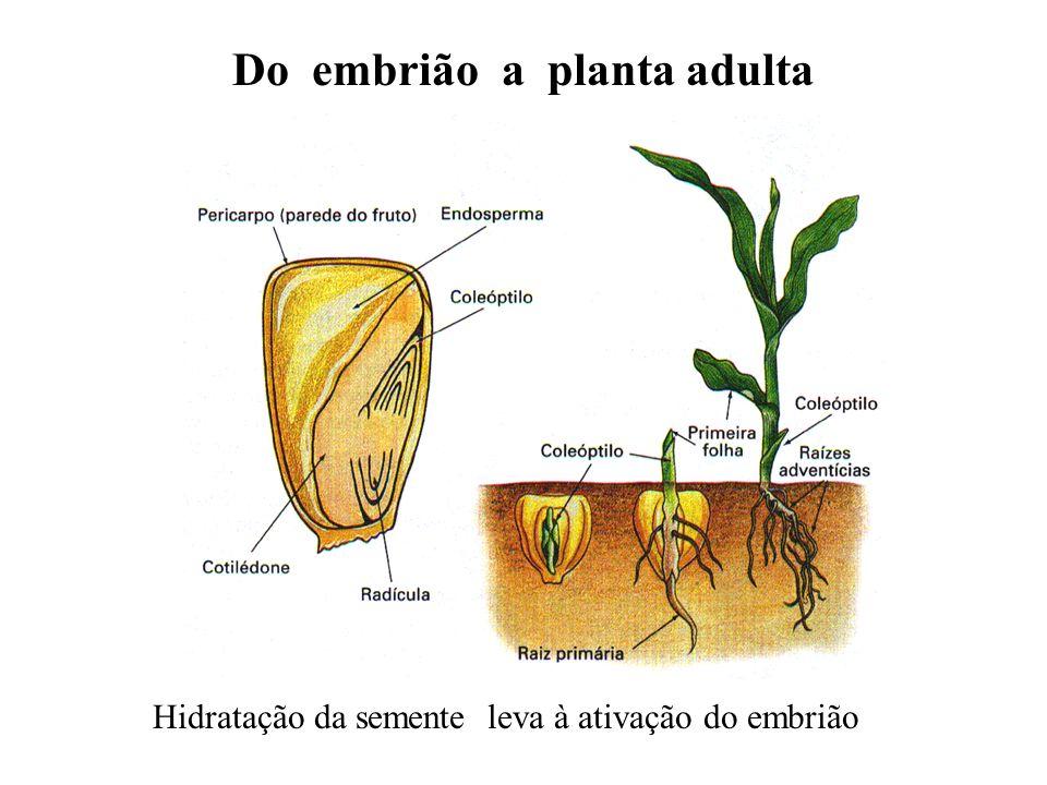 Do embrião a planta adulta Hidratação da semente leva à ativação do embrião