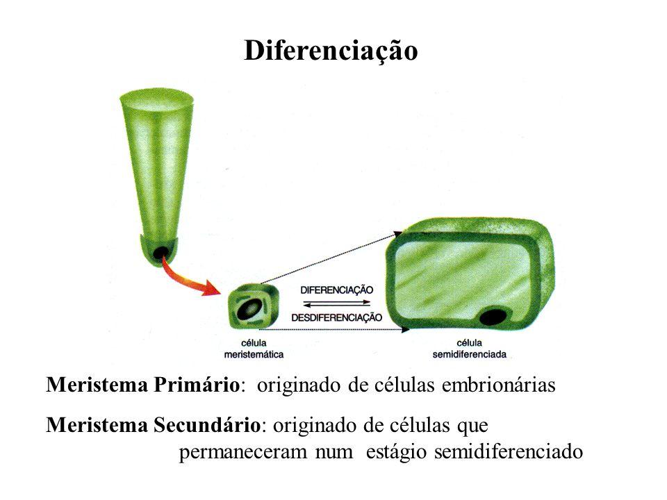 Diferenciação Meristema Primário: originado de células embrionárias Meristema Secundário: originado de células que permaneceram num estágio semidifere