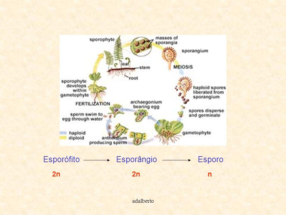 adalberto Esporófito Esporângio Esporo 2n 2n n