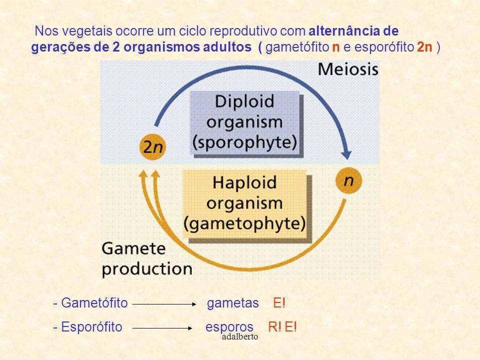 Nos vegetais ocorre um ciclo reprodutivo com alternância de gerações de 2 organismos adultos ( gametófito n e esporófito 2n ) - Gametófito gametas E!