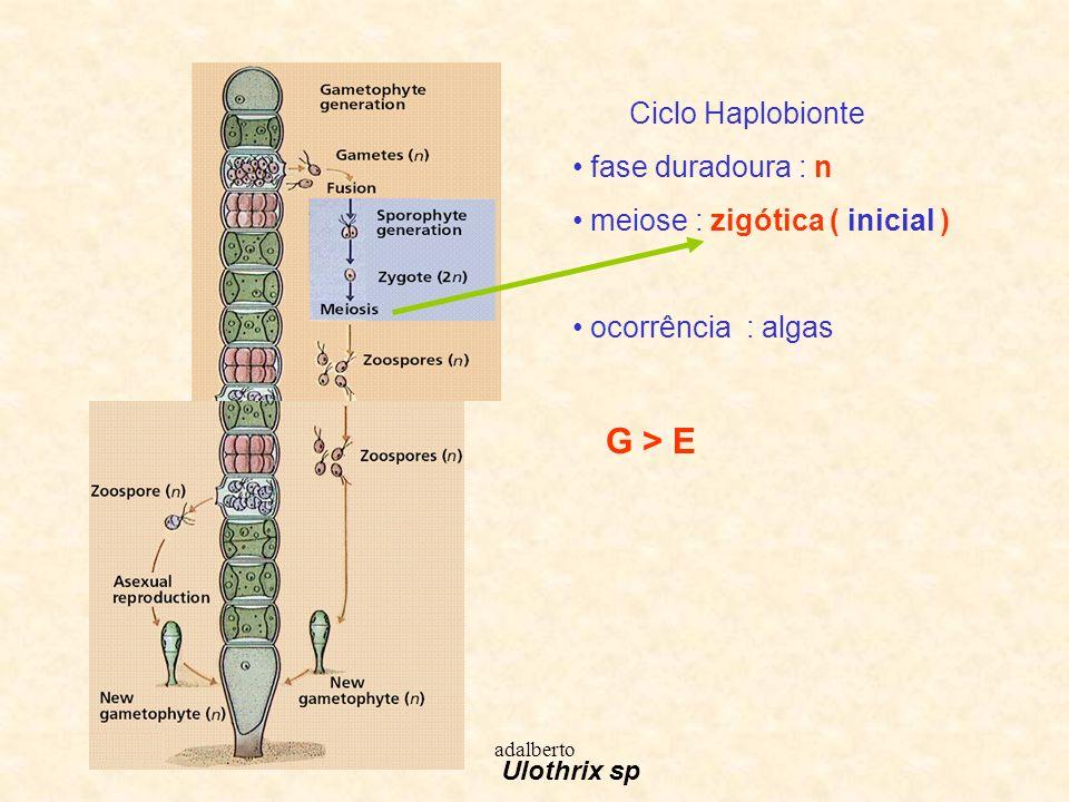 adalberto Ciclo Diplobionte fase duradoura : 2n meiose : gamética ( final ) ocorrência : algas e todos animais E > G