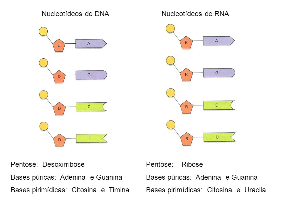 Nucleotídeos de DNANucleotídeos de RNA Pentose: Desoxirribose Bases púricas: Adenina e Guanina Bases pirimídicas: Citosina e Timina Pentose: Ribose Ba