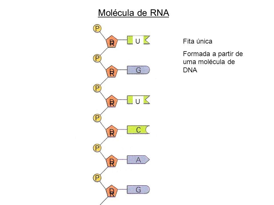 R R R R R R U U Molécula de RNA Fita única Formada a partir de uma molécula de DNA