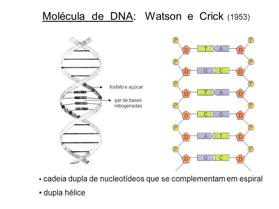 Molécula de DNA: Watson e Crick (1953) cadeia dupla de nucleotídeos que se complementam em espiral dupla hélice fosfato e açúcar par de bases nitrogen