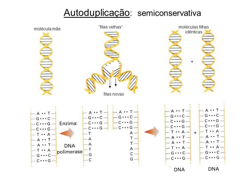 Autoduplicação : semiconservativa fitas novas fitas velhas molécula mãe moléculas filhas idênticas