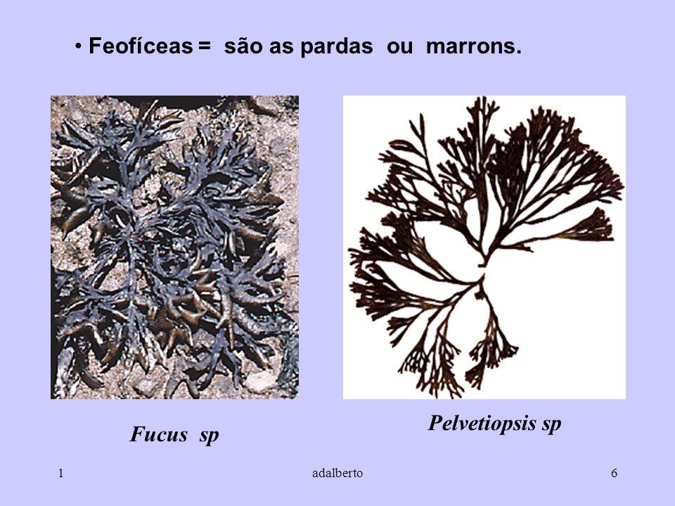 1adalberto6 Feofíceas = são as pardas ou marrons. Fucus sp Pelvetiopsis sp