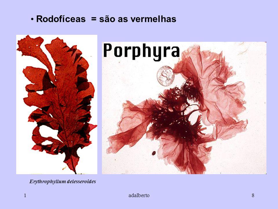 1adalberto8 Rodofíceas = são as vermelhas Erythrophyllum delesseroides