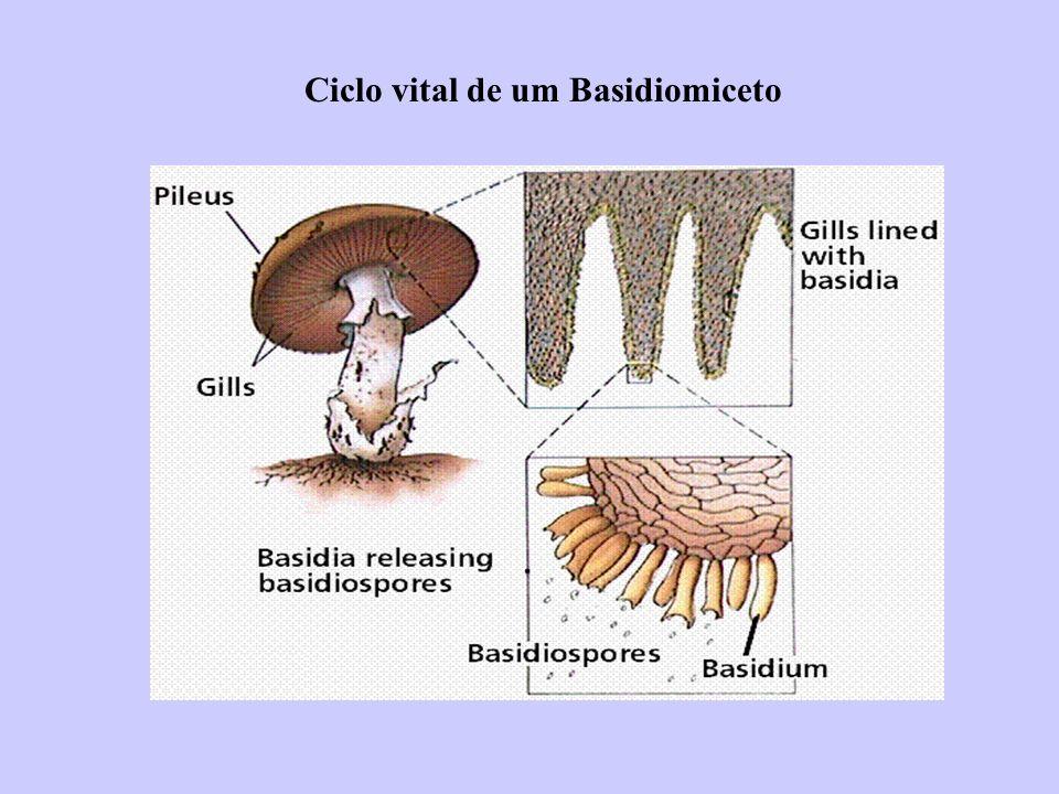 Ciclo vital de um Basidiomiceto