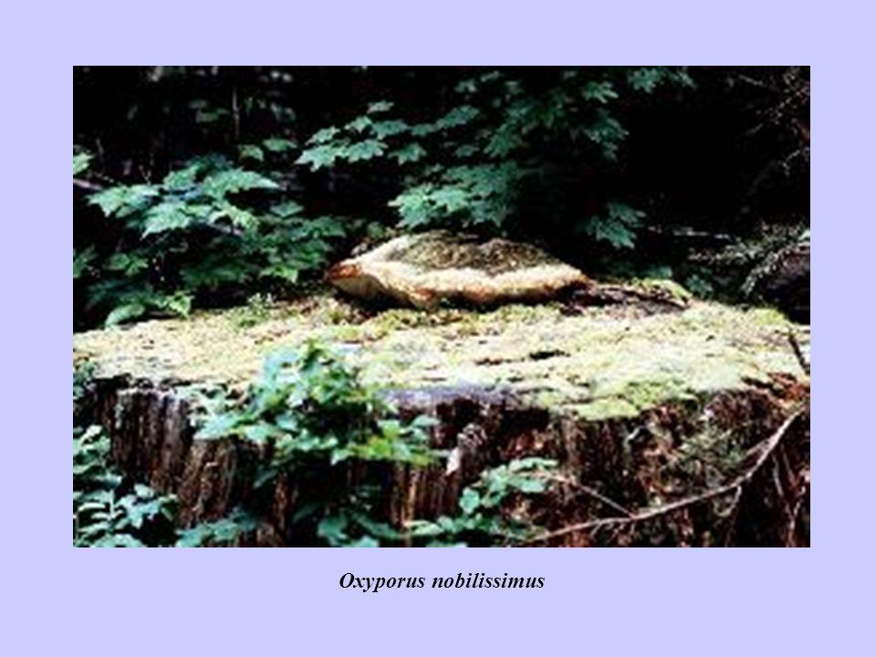 Oxyporus nobilissimus