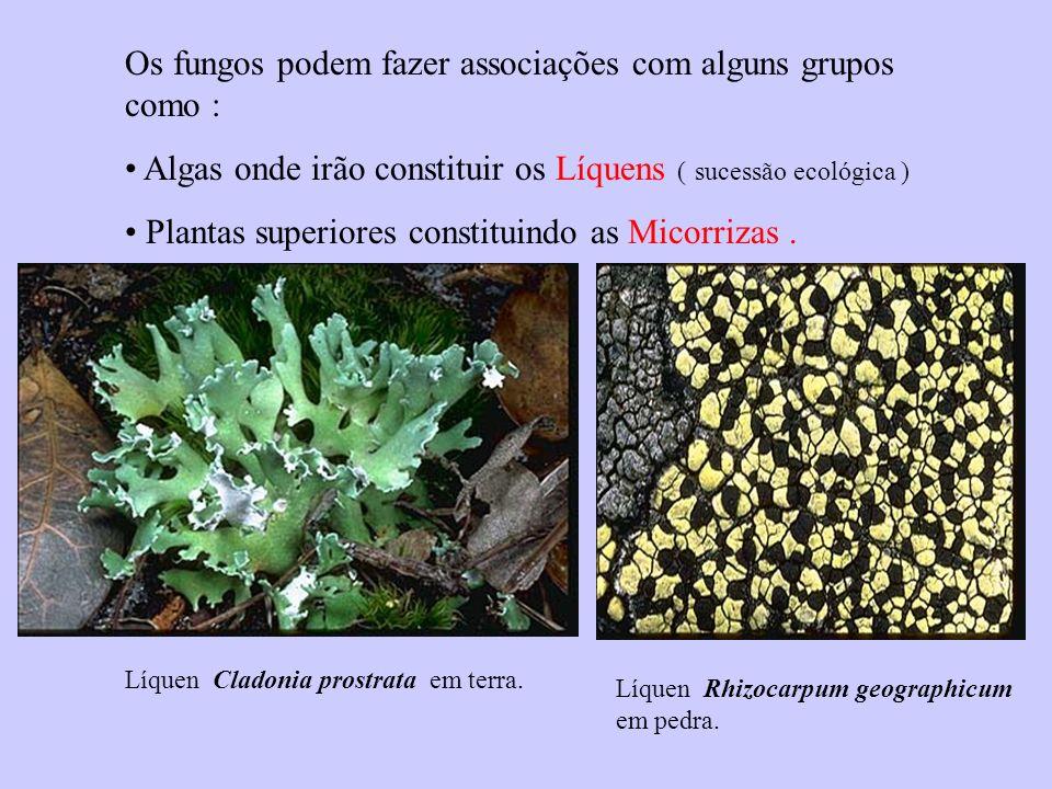 Os fungos podem fazer associações com alguns grupos como : Algas onde irão constituir os Líquens ( sucessão ecológica ) Plantas superiores constituind