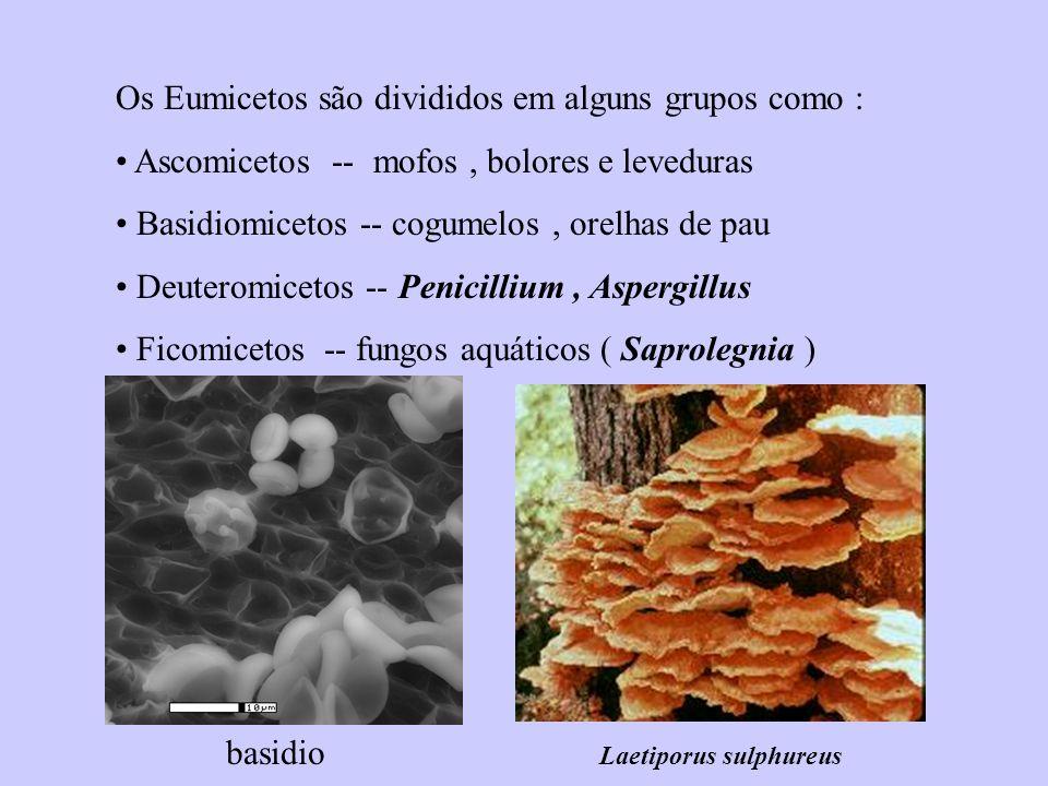 Os Eumicetos são divididos em alguns grupos como : Ascomicetos -- mofos, bolores e leveduras Basidiomicetos -- cogumelos, orelhas de pau Deuteromiceto