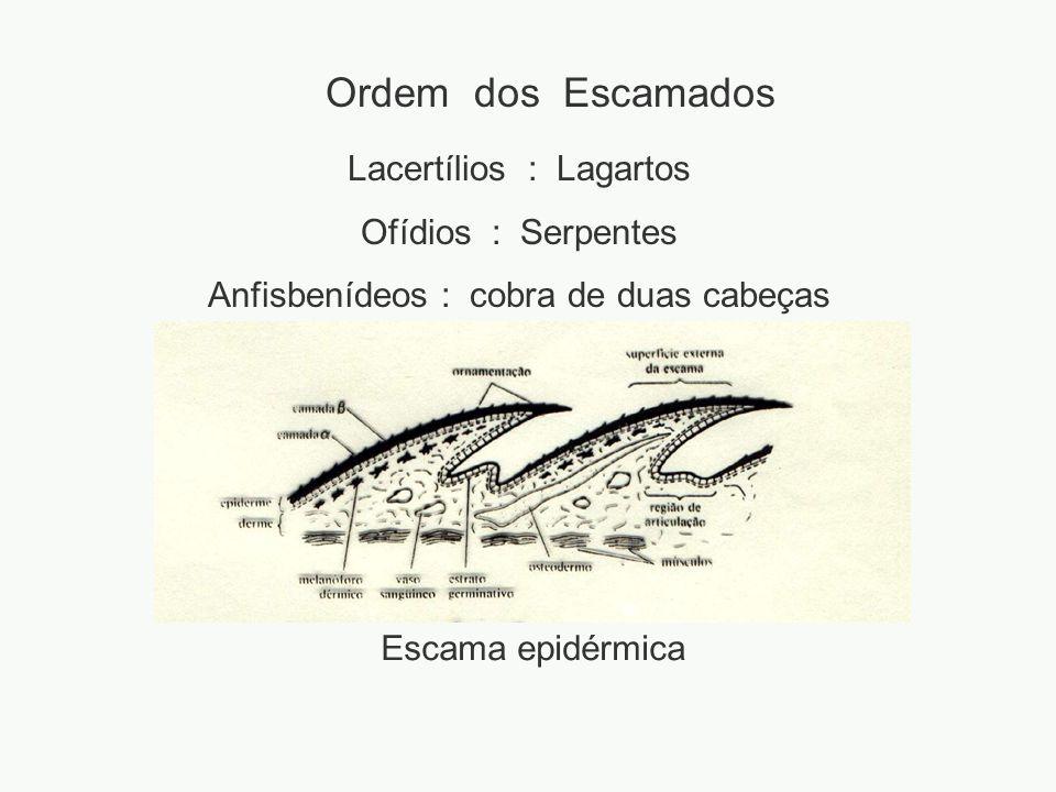 Ordem dos Escamados Lacertílios : Lagartos Ofídios : Serpentes Anfisbenídeos : cobra de duas cabeças Escama epidérmica