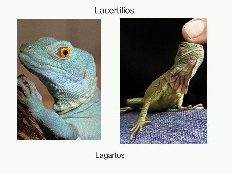 Lagartos Lacertílios