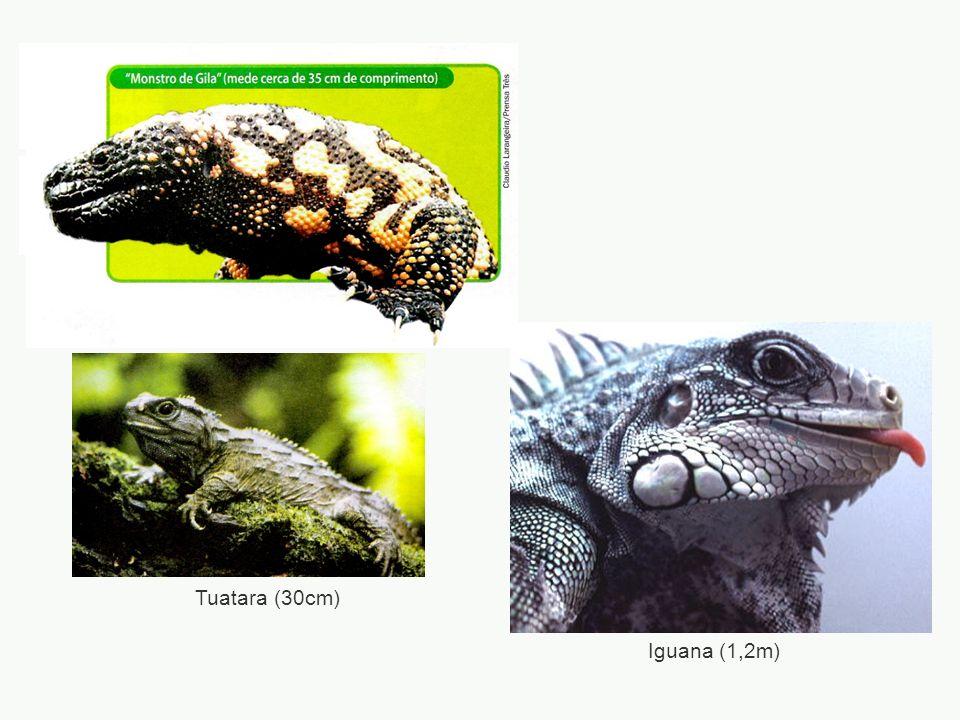 Iguana (1,2m) Tuatara (30cm)