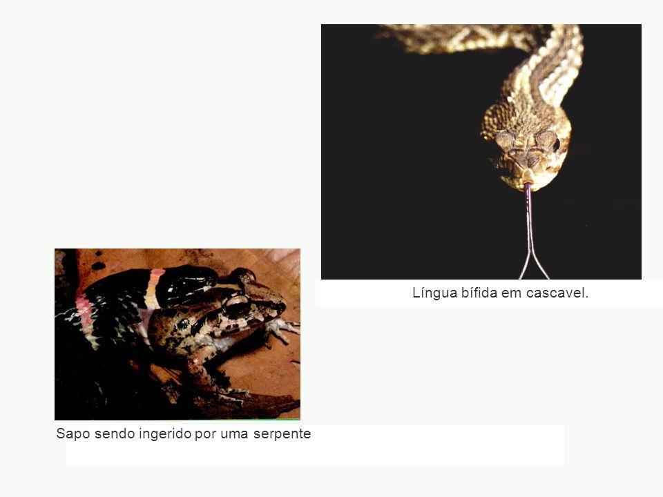 Língua bífida em cascavel. Sapo sendo ingerido por uma serpente
