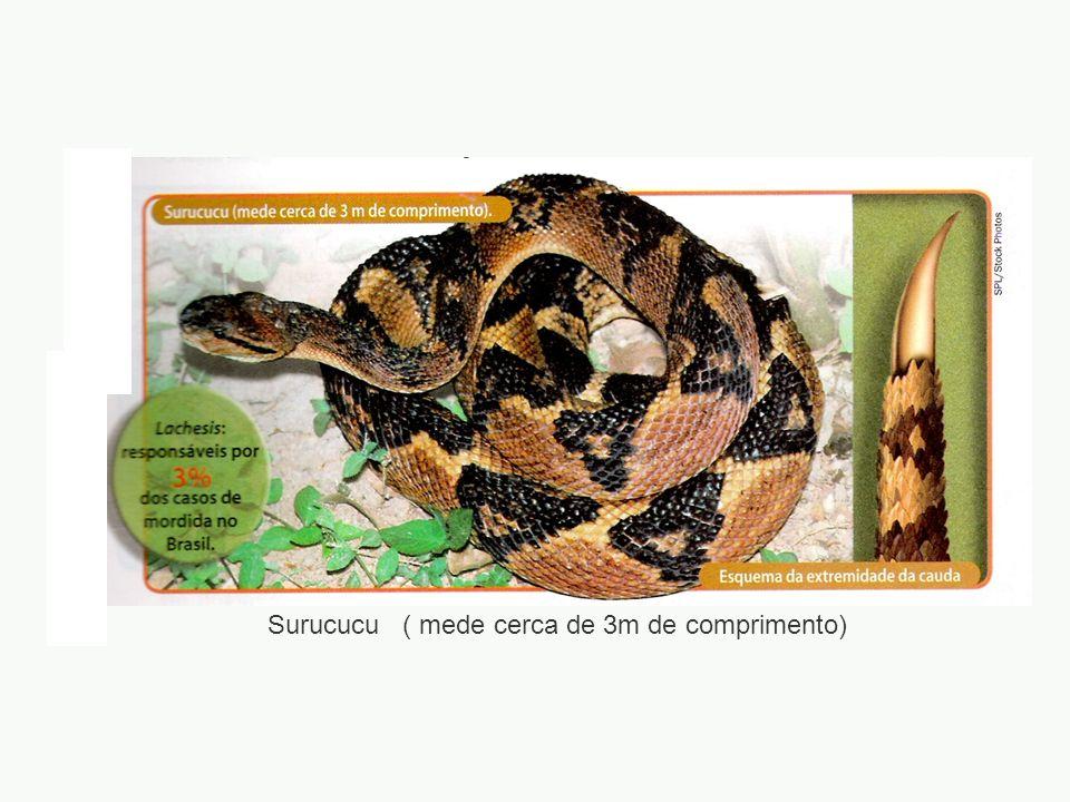 Surucucu ( mede cerca de 3m de comprimento)