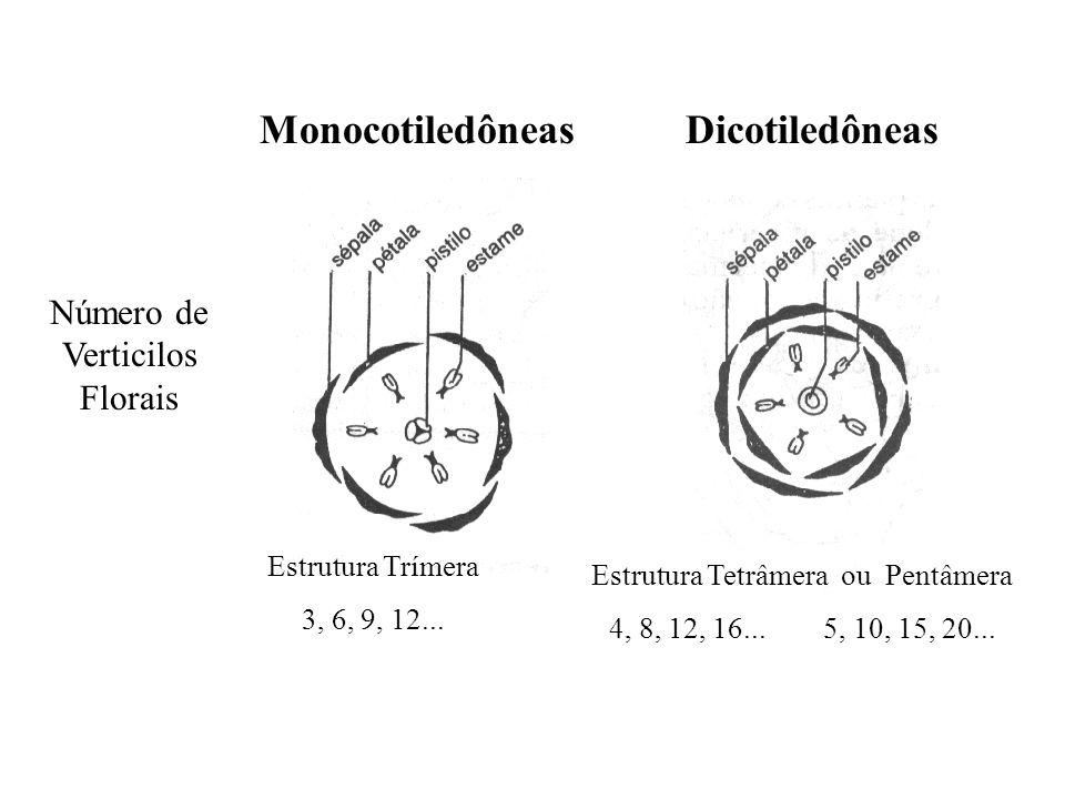 adalberto MonocotiledôneasDicotiledôneas Número de Verticilos Florais Estrutura Trímera 3, 6, 9, 12... Estrutura Tetrâmera ou Pentâmera 4, 8, 12, 16..