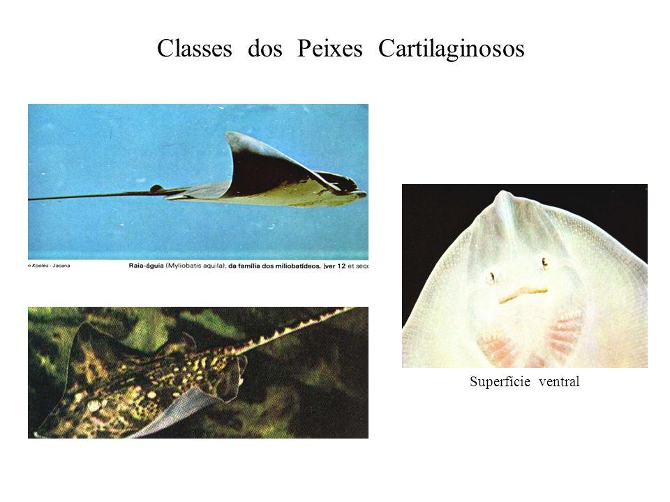Classes dos Peixes Cartilaginosos Superfície ventral