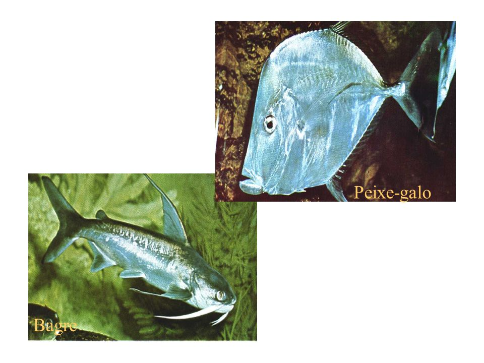 Bagre Peixe-galo