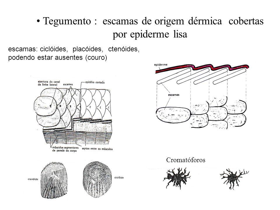Tegumento : escamas de origem dérmica cobertas por epiderme lisa Cromatóforos escamas: ciclóides, placóides, ctenóides, podendo estar ausentes (couro)