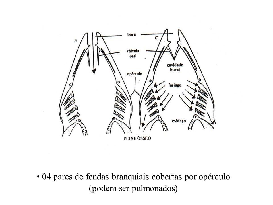 04 pares de fendas branquiais cobertas por opérculo (podem ser pulmonados)