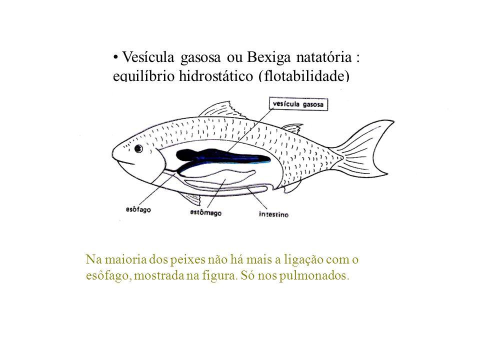 Vesícula gasosa ou Bexiga natatória : equilíbrio hidrostático (flotabilidade) Na maioria dos peixes não há mais a ligação com o esôfago, mostrada na f