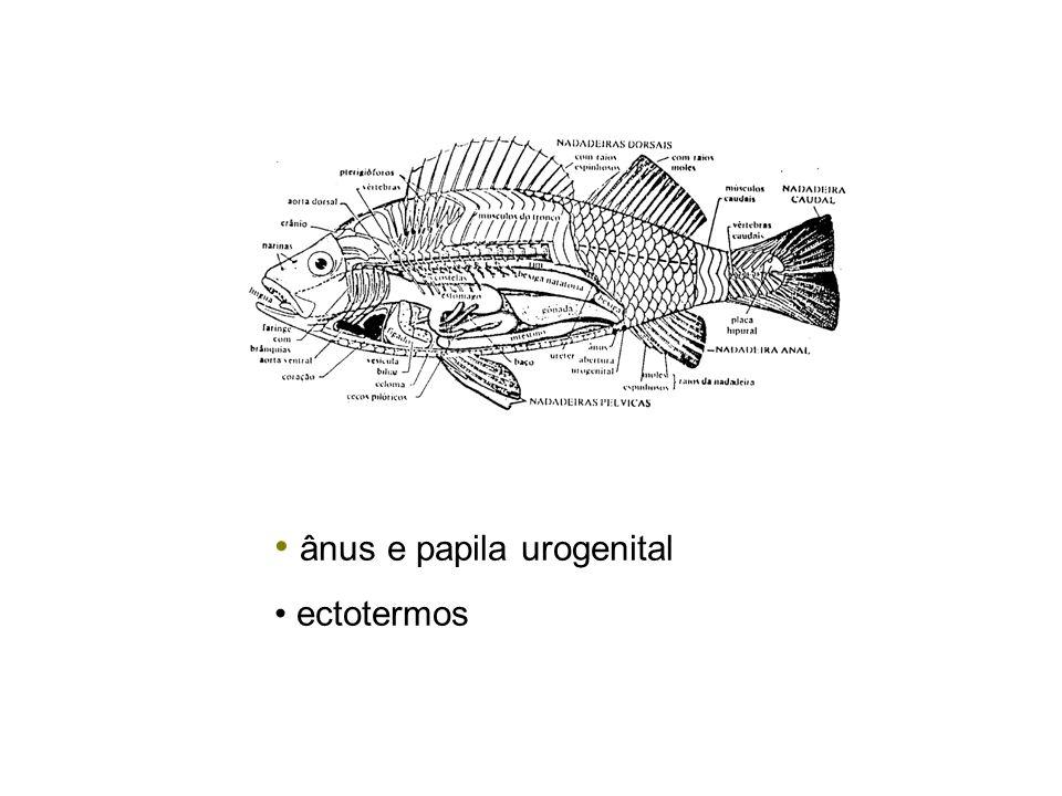 ânus e papila urogenital ectotermos