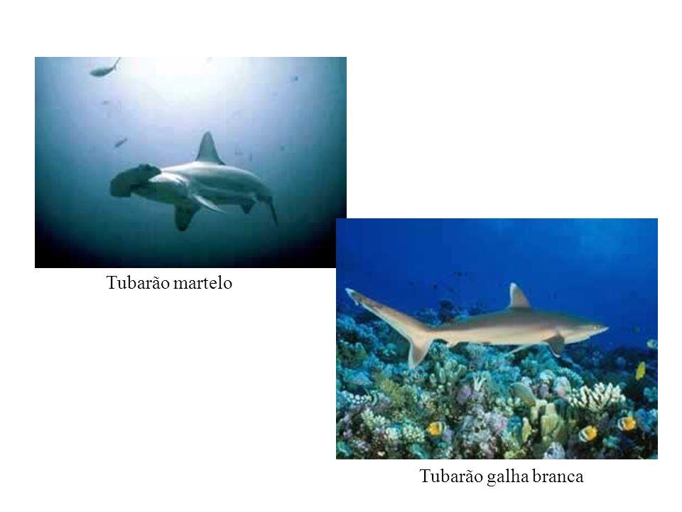 Fazem uremia fisiológica (concentram uréia no sangue), o que os torna isotônicos em relação à água do mar.