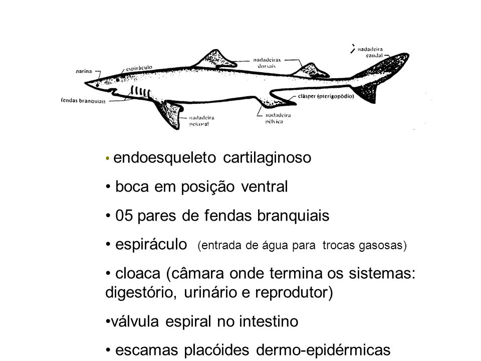 endoesqueleto cartilaginoso boca em posição ventral 05 pares de fendas branquiais espiráculo (entrada de água para trocas gasosas) cloaca (câmara onde