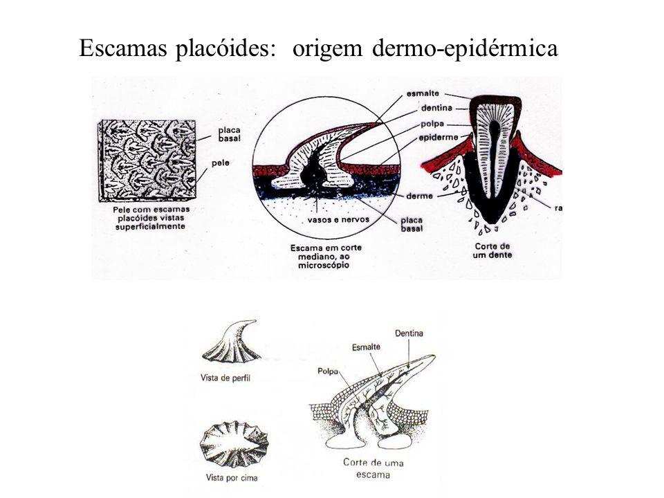 Escamas placóides: origem dermo-epidérmica
