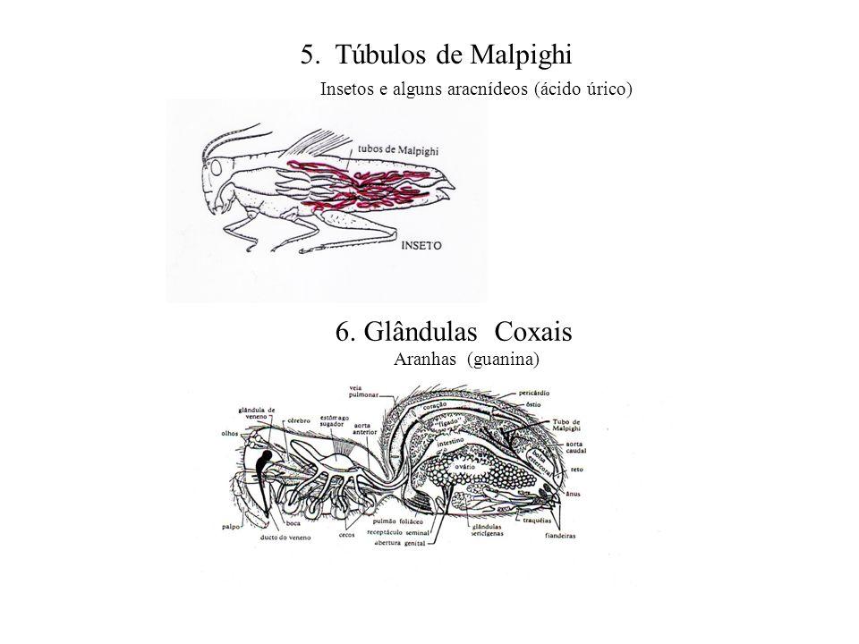 5. Túbulos de Malpighi Insetos e alguns aracnídeos (ácido úrico) 6. Glândulas Coxais Aranhas (guanina)