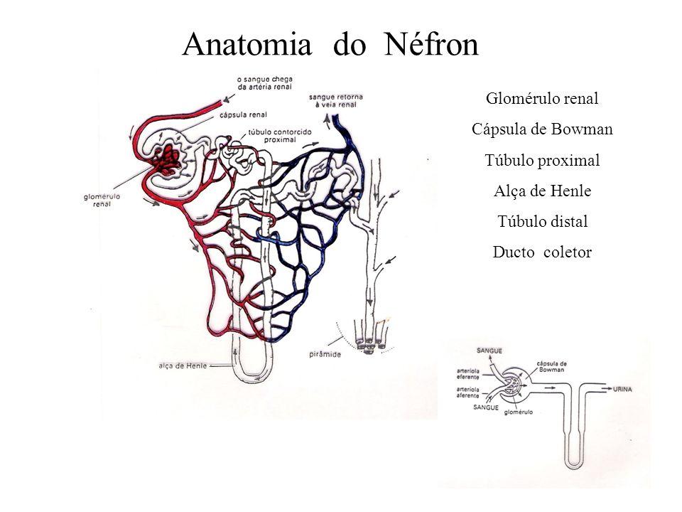 Anatomia do Néfron Glomérulo renal Cápsula de Bowman Túbulo proximal Alça de Henle Túbulo distal Ducto coletor