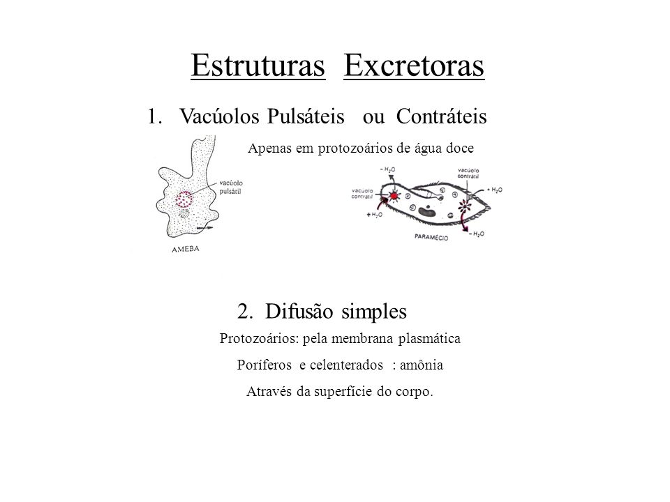 Estruturas Excretoras 1. Vacúolos Pulsáteis ou Contráteis Apenas em protozoários de água doce 2. Difusão simples Protozoários: pela membrana plasmátic