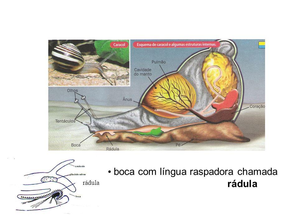 rádula boca com língua raspadora chamada rádula
