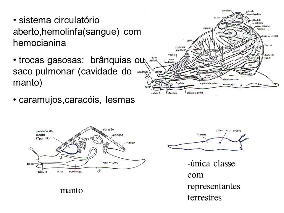 sistema circulatório aberto,hemolinfa(sangue) com hemocianina trocas gasosas: brânquias ou saco pulmonar (cavidade do manto) caramujos,caracóis, lesma