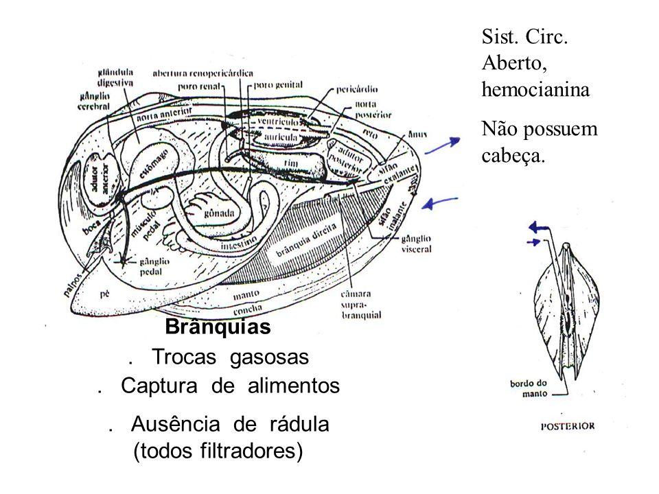 Brânquias. Trocas gasosas. Captura de alimentos. Ausência de rádula (todos filtradores) Sist. Circ. Aberto, hemocianina Não possuem cabeça.