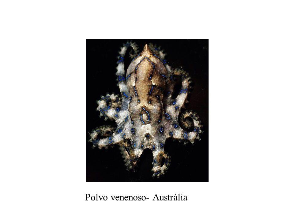 Polvo venenoso- Austrália