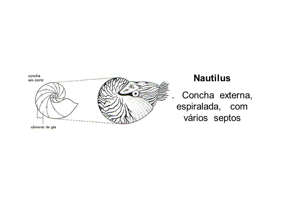 Nautilus. Concha externa, espiralada, com vários septos