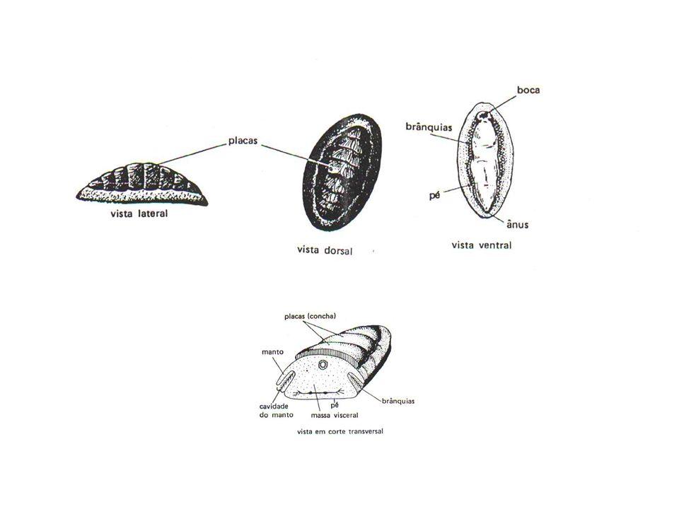 3.Cefalópodes ou Sifonópodes Polvo. Ausência de concha.