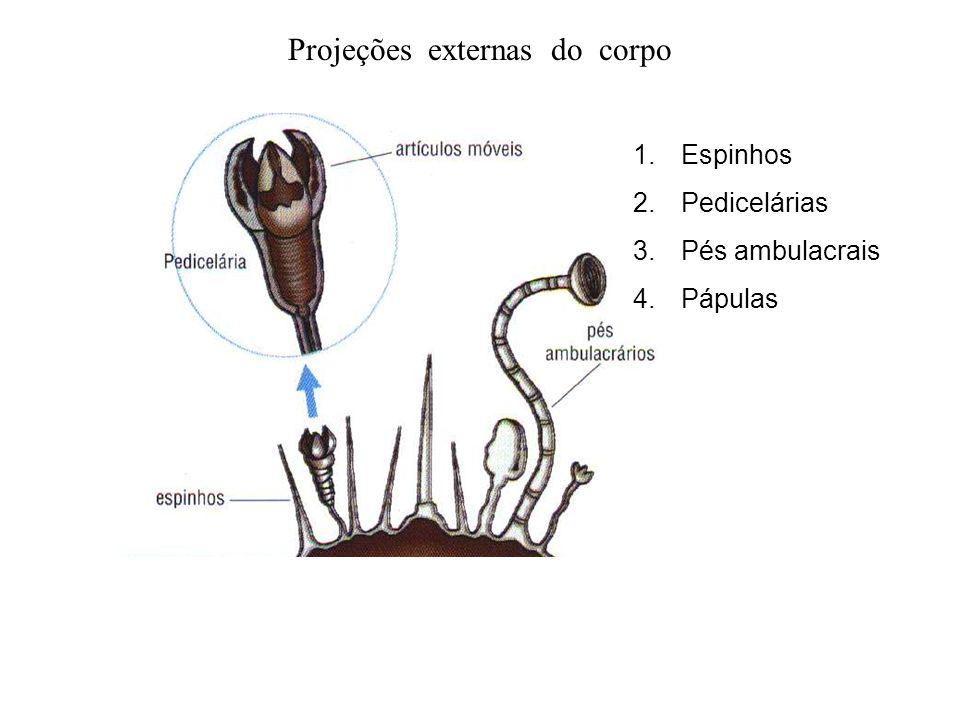 Projeções externas do corpo 1.Espinhos 2.Pedicelárias 3.Pés ambulacrais 4.Pápulas