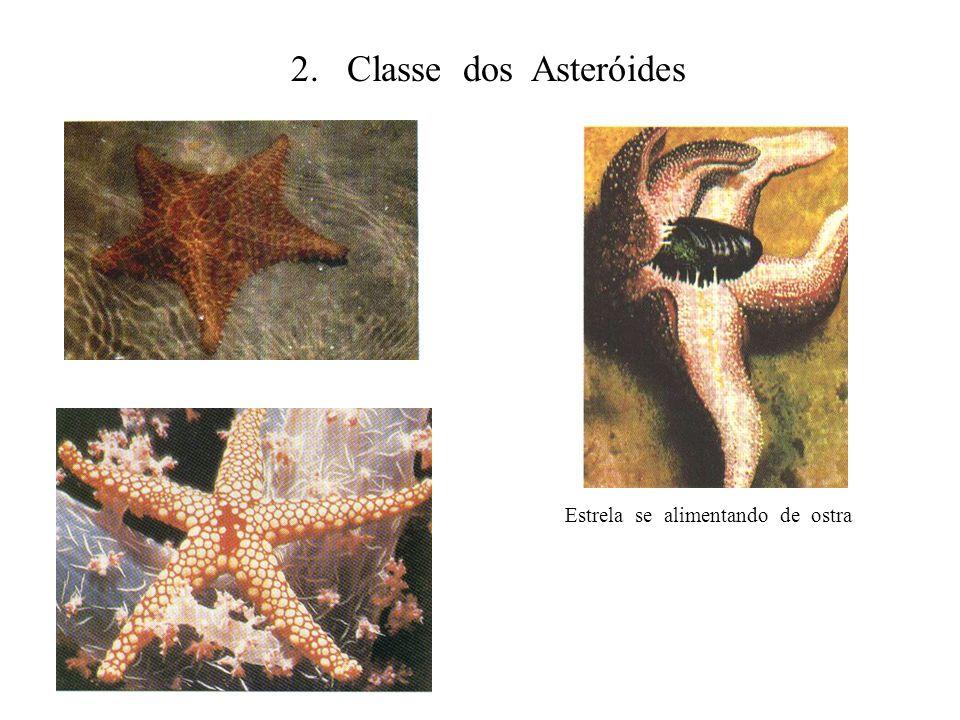 2. Classe dos Asteróides Estrela se alimentando de ostra