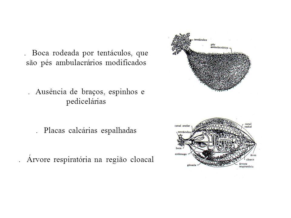 . Boca rodeada por tentáculos, que são pés ambulacrários modificados. Ausência de braços, espinhos e pedicelárias. Placas calcárias espalhadas. Árvore