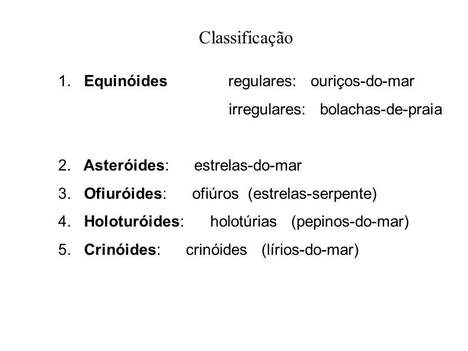 Classificação 1. Equinóides regulares: ouriços-do-mar irregulares: bolachas-de-praia 2. Asteróides: estrelas-do-mar 3. Ofiuróides: ofiúros (estrelas-s